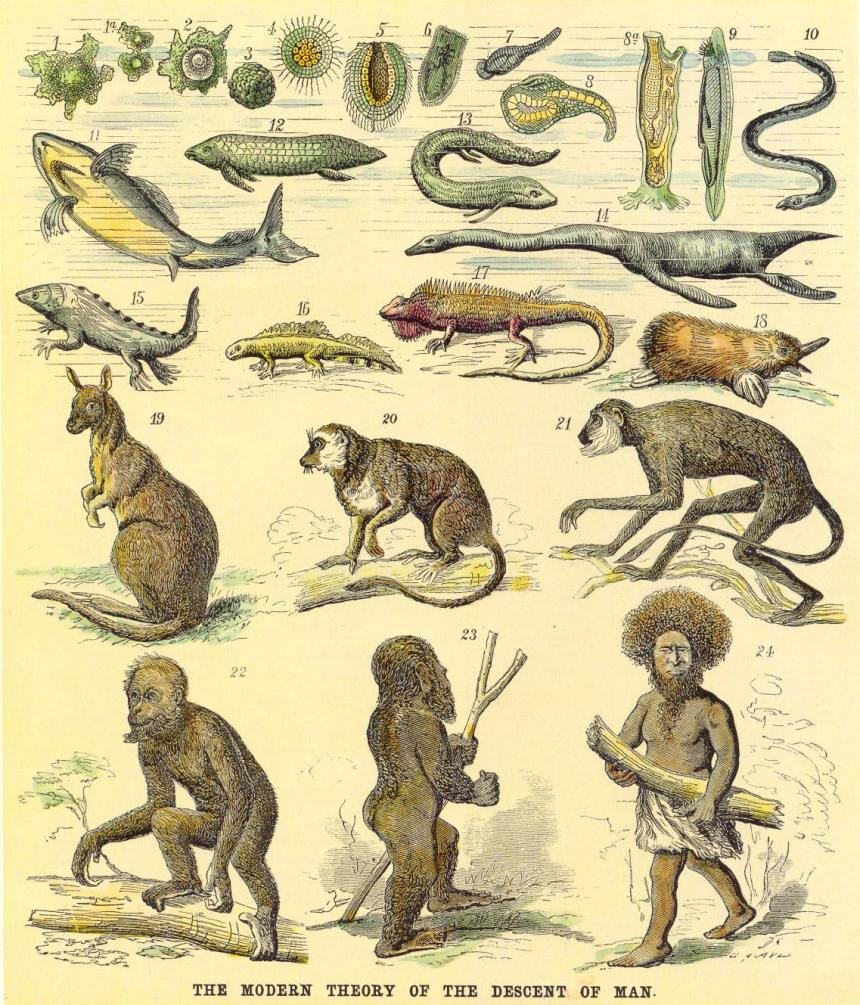 1876-Haeckels_chart_of_human_evolution1